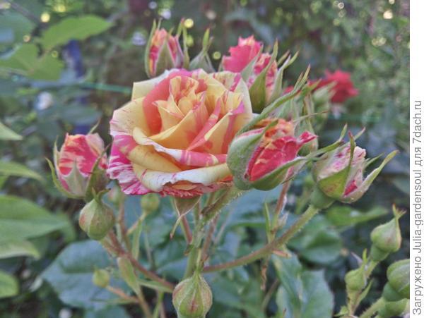 еще роза