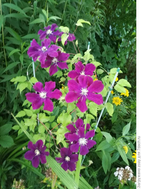 А вот и прибавились цветки климатиса.