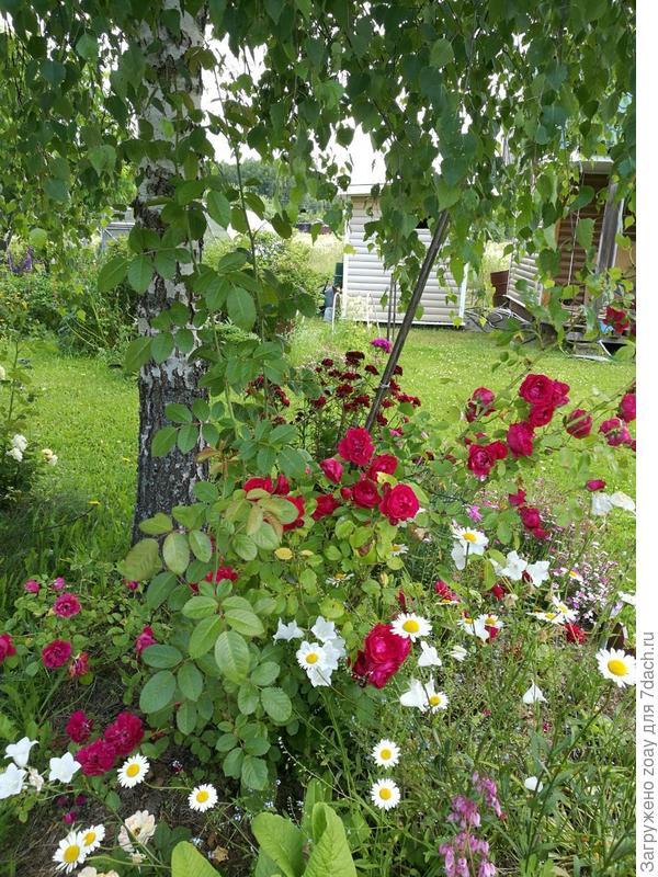 под березой распустились розочки росли вместе с березой. ветром занесло в розарий семечко так и выросла ровная красивая березка.
