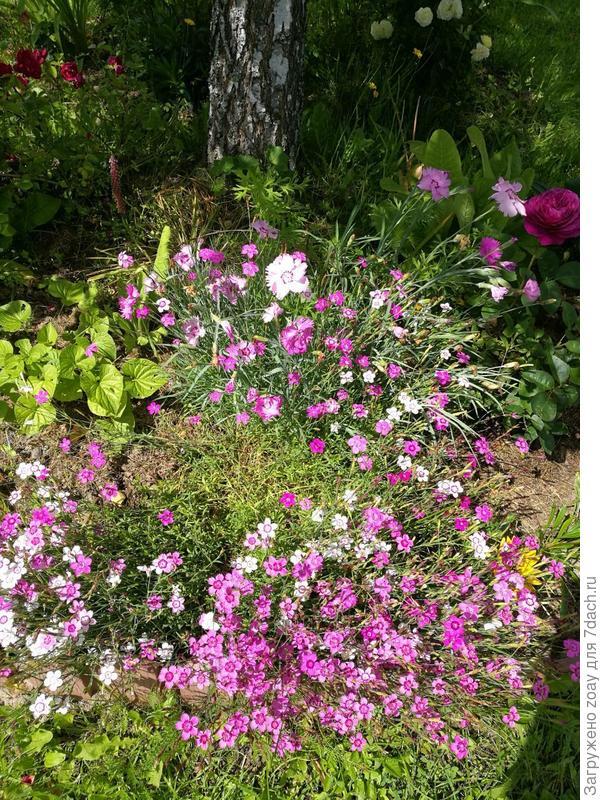 Сеяла гвоздику травянку и еще розовую. первый год только листья были а на второй год просто букет целое лето цвели, не знала что так здорово она цветет.