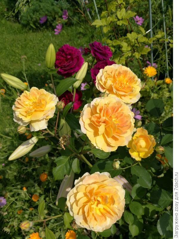 "Моя розочка вторая волна цветения ""Мулинекс"" роза Д.Остина."