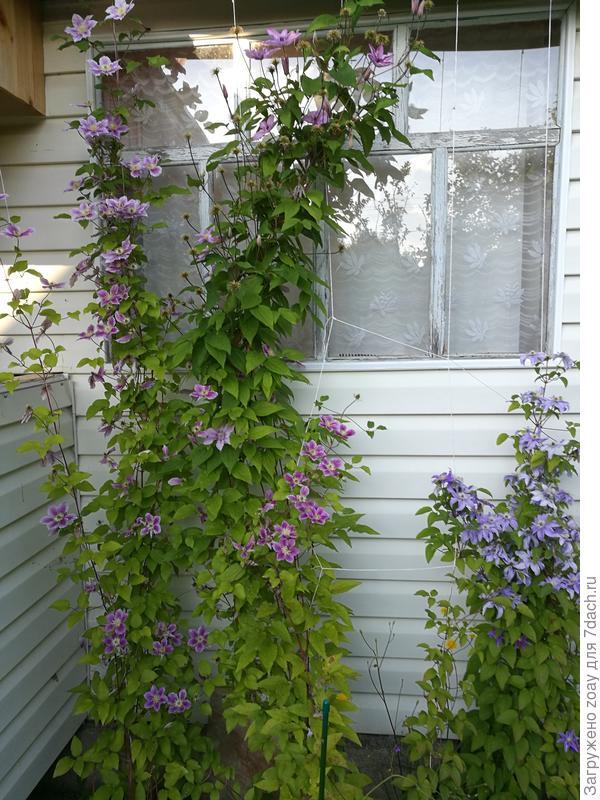 Цветут климатисы все лето, на зиму особо не закрываю, одним слоем спанбонда накидываю и все.