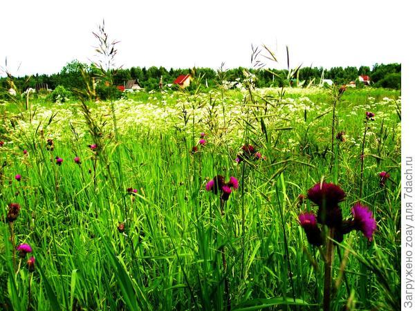 Вот мое болото цветет, фото не четкое.