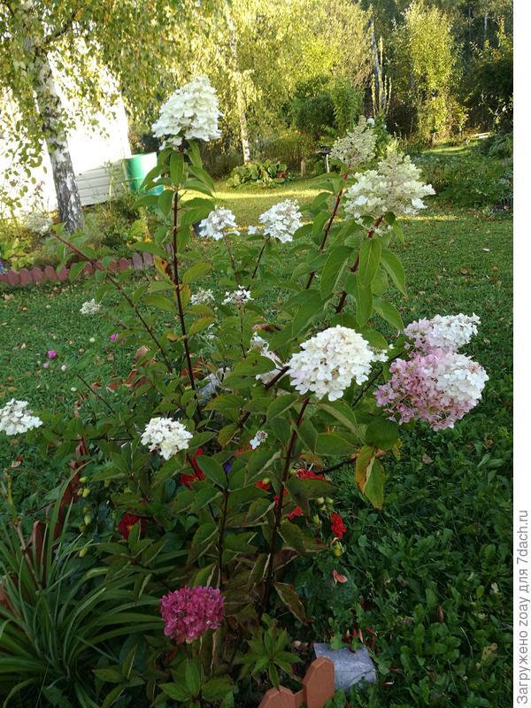 Весной посадила в этом году две гортензии метельчатые, названия остались на даче.