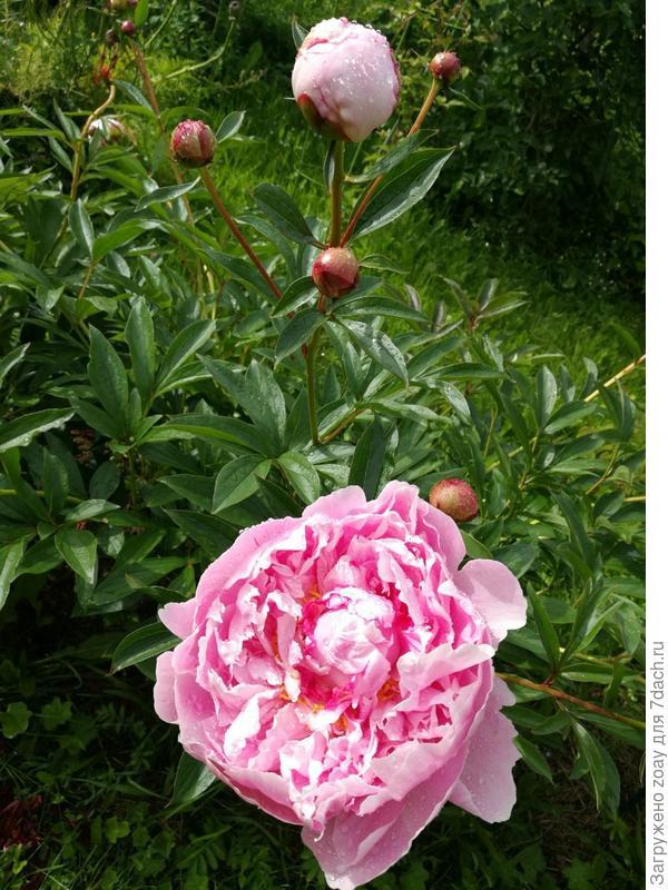Распускается пион. Нежно розовый цвет так жалко что увидеть пионы цветущие так мало времени. Только на выходные приезжаю.А они так быстро отцветают.