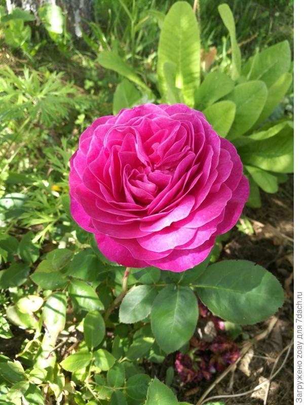 Покупала в ОБИ розу сиреневую темную. первый год была такая темная, а последующие года посветлее стала.