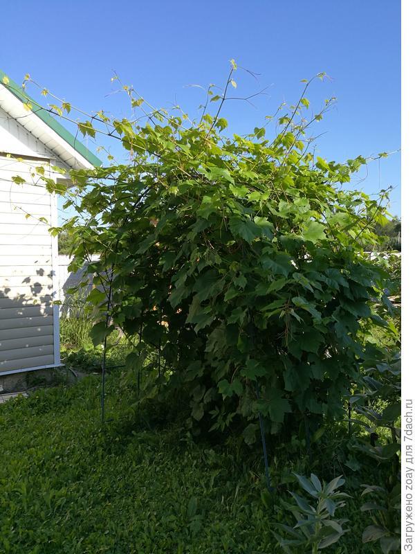 А вот и мой виноград помоему ему тут тоже хорошо. конечно возле дома теплее на солнышке было.