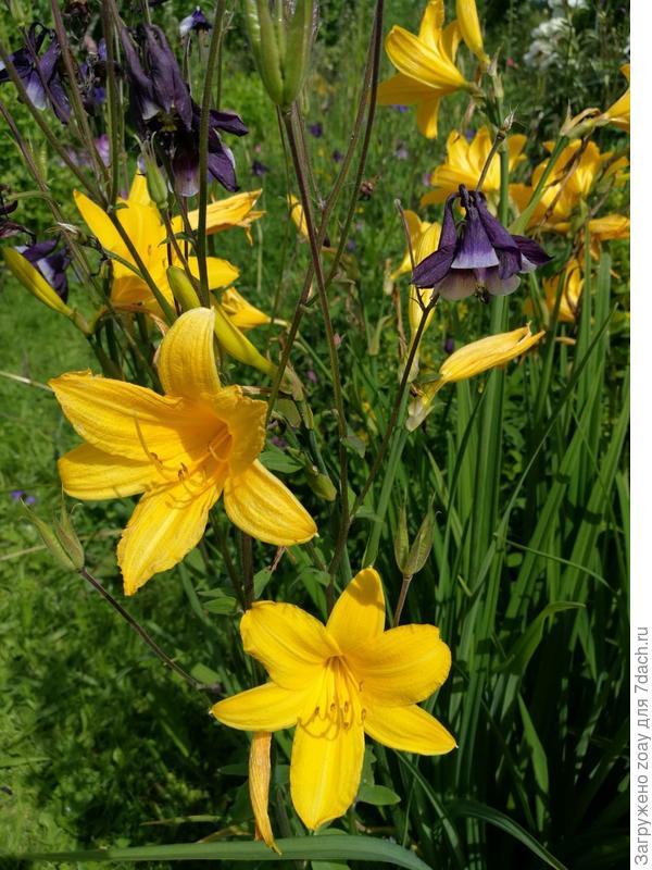 желтый лилейник с аквилегией в паре растут.