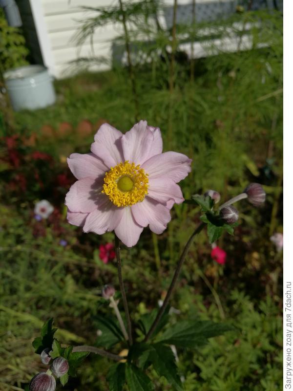 В этом году посадила Анемону Японскую, такой интересный цветок, к осени распустился все лето ждала посмотреть какой будет цвет.