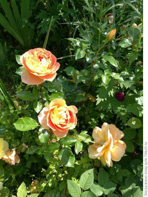 "А за ним тоже роза Остина ""Брейтвейт""."