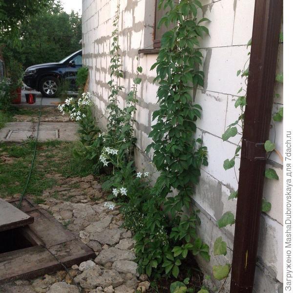 Вертикальное озеленение дома девичьим виноградом