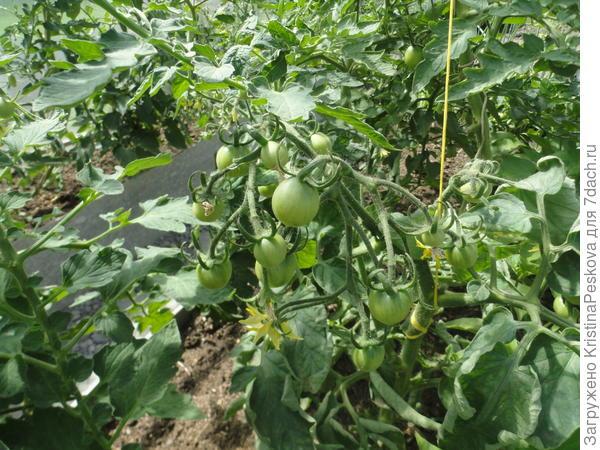грунтовые помидоры