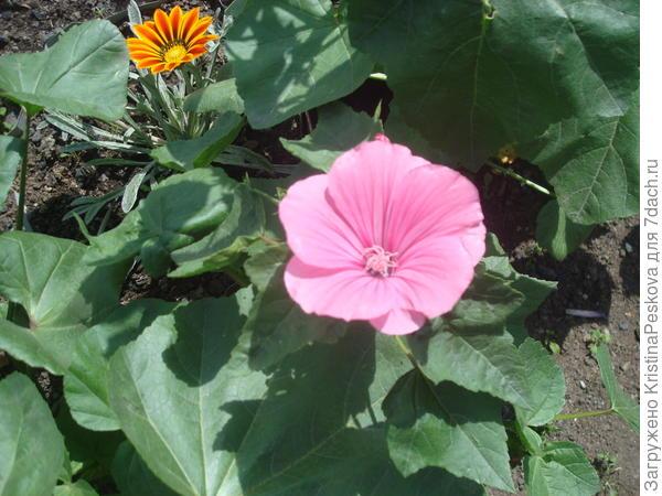 лаватера розовая