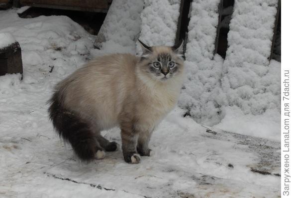 Барс снежный