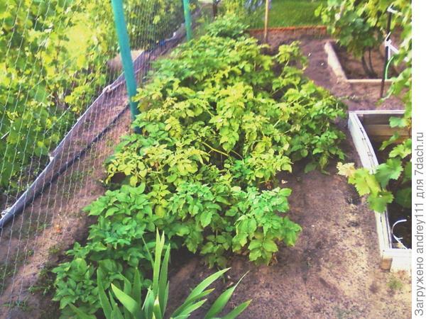 С этой грядки выкопали уже 5 кустов около ведра молодой картошки.