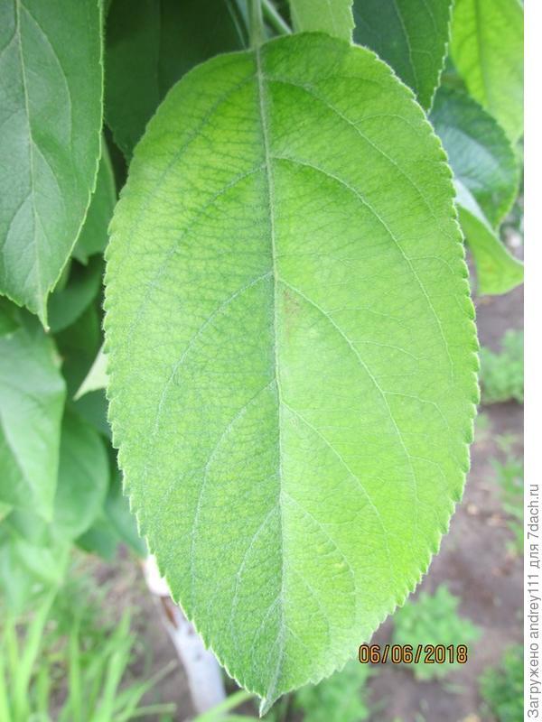 Хлоротичный лист из первых, распустившихся в этом году. Он так и остался как был. Только слегка позеленел.