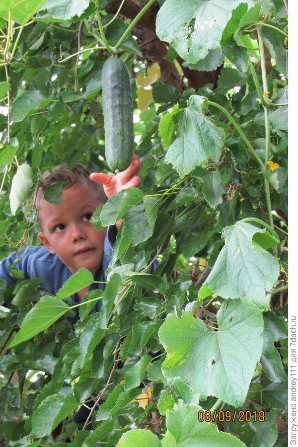 Сборщик плодов огуречного дерева - опасная профессия. Работать приходится без страховки.