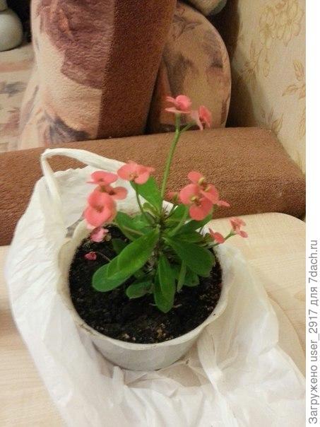 разновидность кактуса, есть ли название?