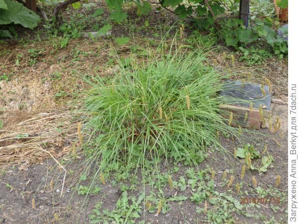 57. вот, такие компактно-раскидистые кустики травы мне понравились