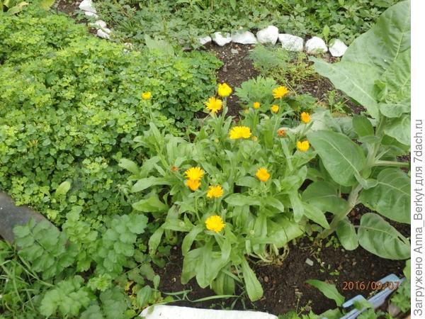 114. Календула распустила свои солнечные цветы в конце лета