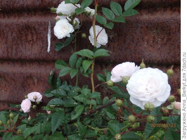 45. через забор от соседей с приветствием пробралась веточка Розы