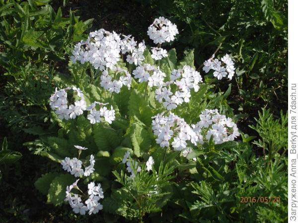 4. Зацвёл этот нежный цветочек, который мне очень нравится и потом пересадила в длинный цветник, где шалашик... не знаю, как он называется...