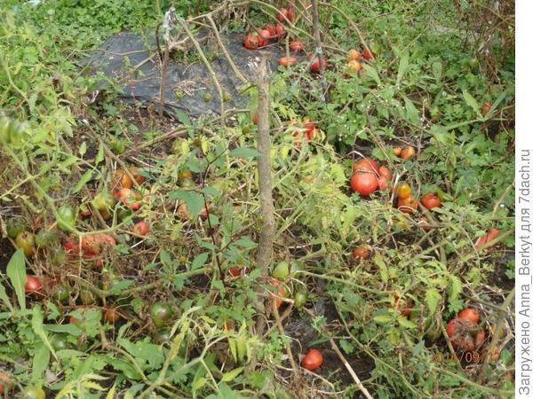 76. помидоры