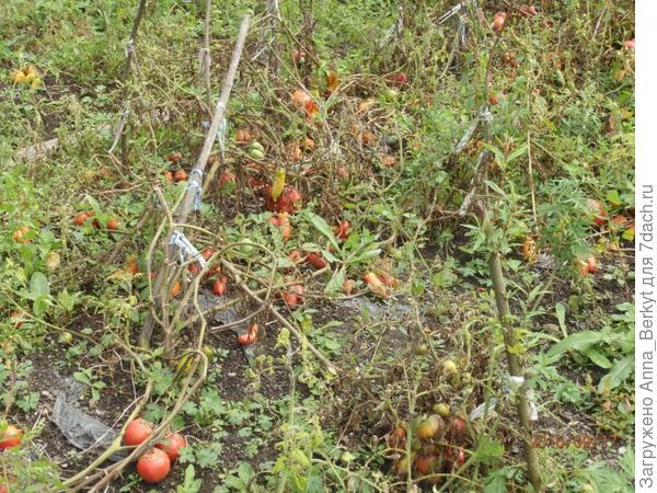 75. помидоры