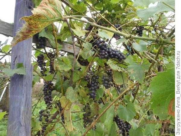 77. виноград
