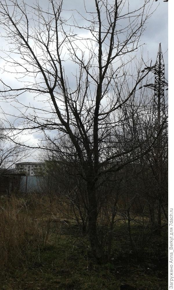 1. Общий план яблони (с северо-восточной стороны)