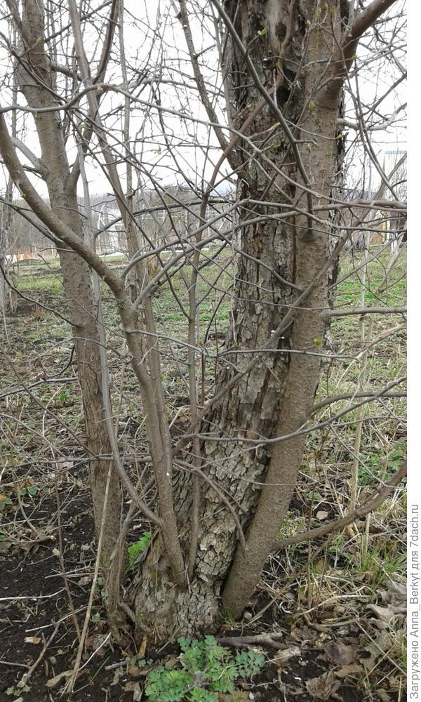 8. нижняя часть, здесь хорошо видно, как новые стволы (или ветви?), растут из основного старого