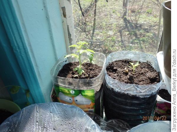 в 5-литровые бутыли посадила помидоры