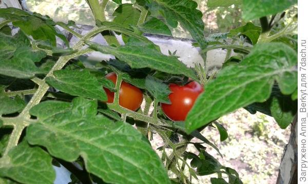первые помидорки покраснели