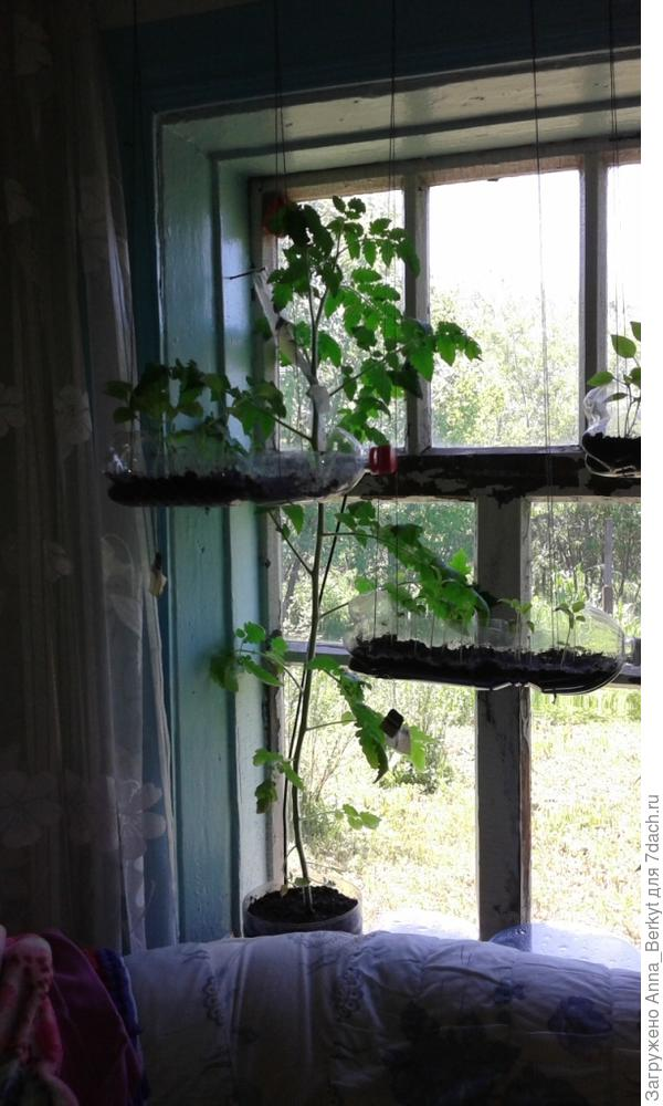 этот тоже  написано что не требует подвязки и можно выращивать даже в комнатных условиях, но почему-то вымахал с окно ростом