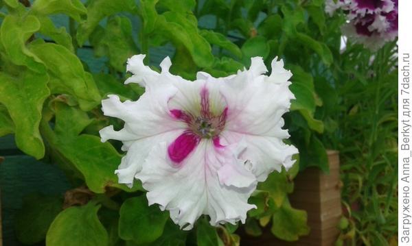 удивительная красавица, у неё каждый цветок разный