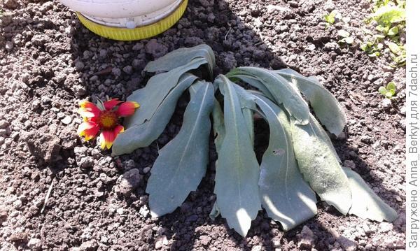 и ещё один цветок... где-то записывала название, да уже забыла