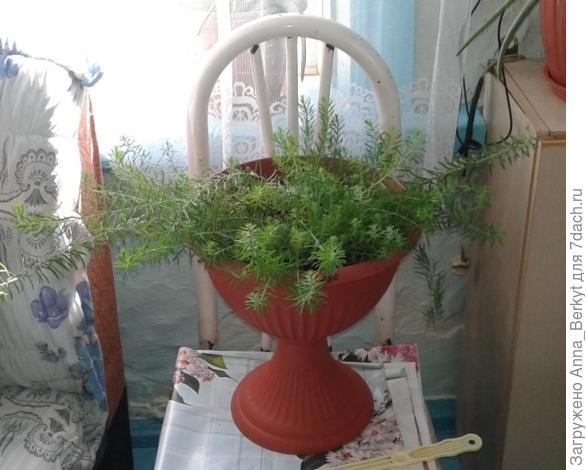Лён в вазоне