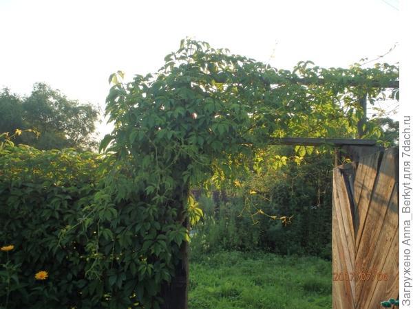 девичий виноград полез пышной шапкой вверху прохода