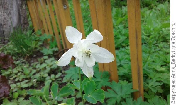 белая Аквилегия порадовала меня цветочком