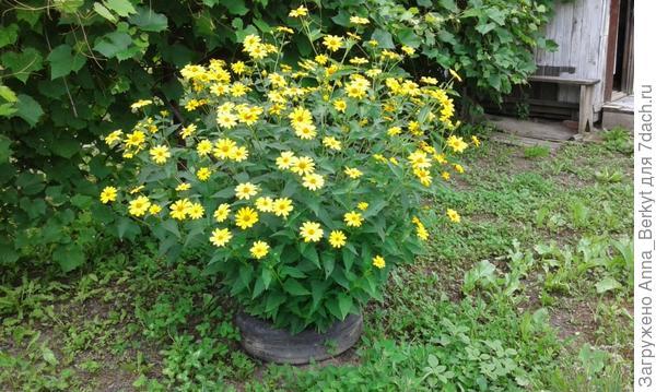 а за дугой возле виноградника компактно цветут жёлтые
