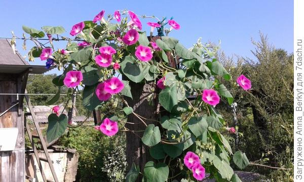 вскоре Ипомея окутала столб пышной розовой шапкой
