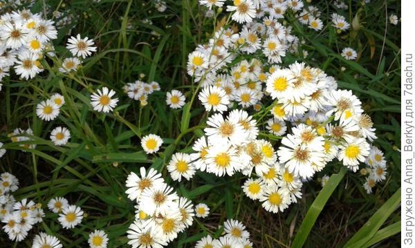 эти мелкие, но милые цветочки, очень медово-ароматные