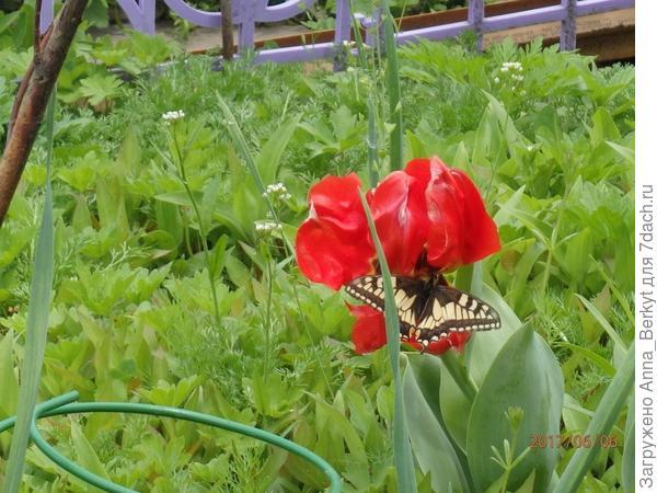 бабочка на Тюльпане