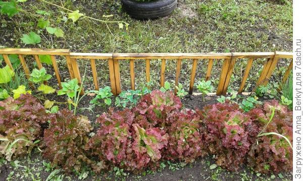 салат красиво разросся бордюром