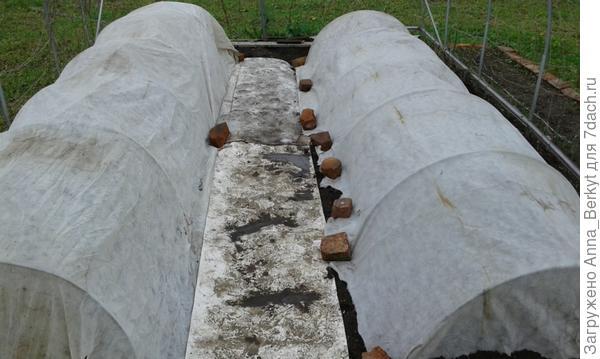 слева я посадила арбузы, а справа - дыни, проход застелила линолеумом
