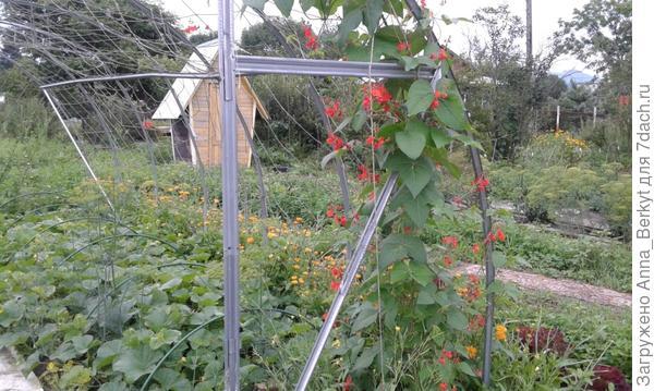 цветущие плети бобов ползут всё выше