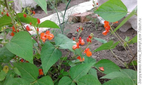 цветочки бобов здорово украсили теплицу