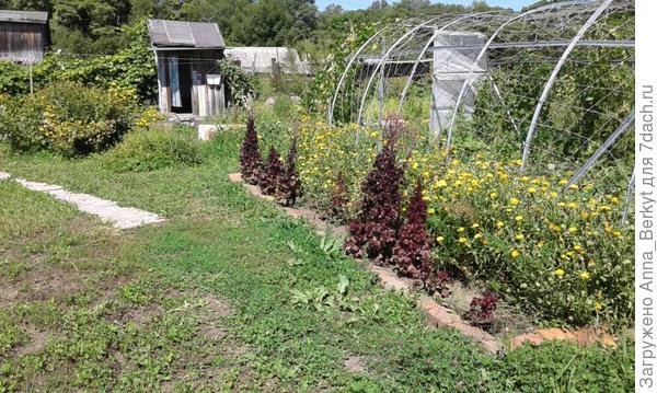 к концу лета половину салата унесла в компост, оставив не упавшие
