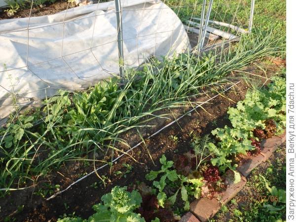 за линией - морковь, свекла, репа и окантовкой разный салат