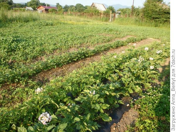 позже высадила ещё третий ряд здешней картошки под траву